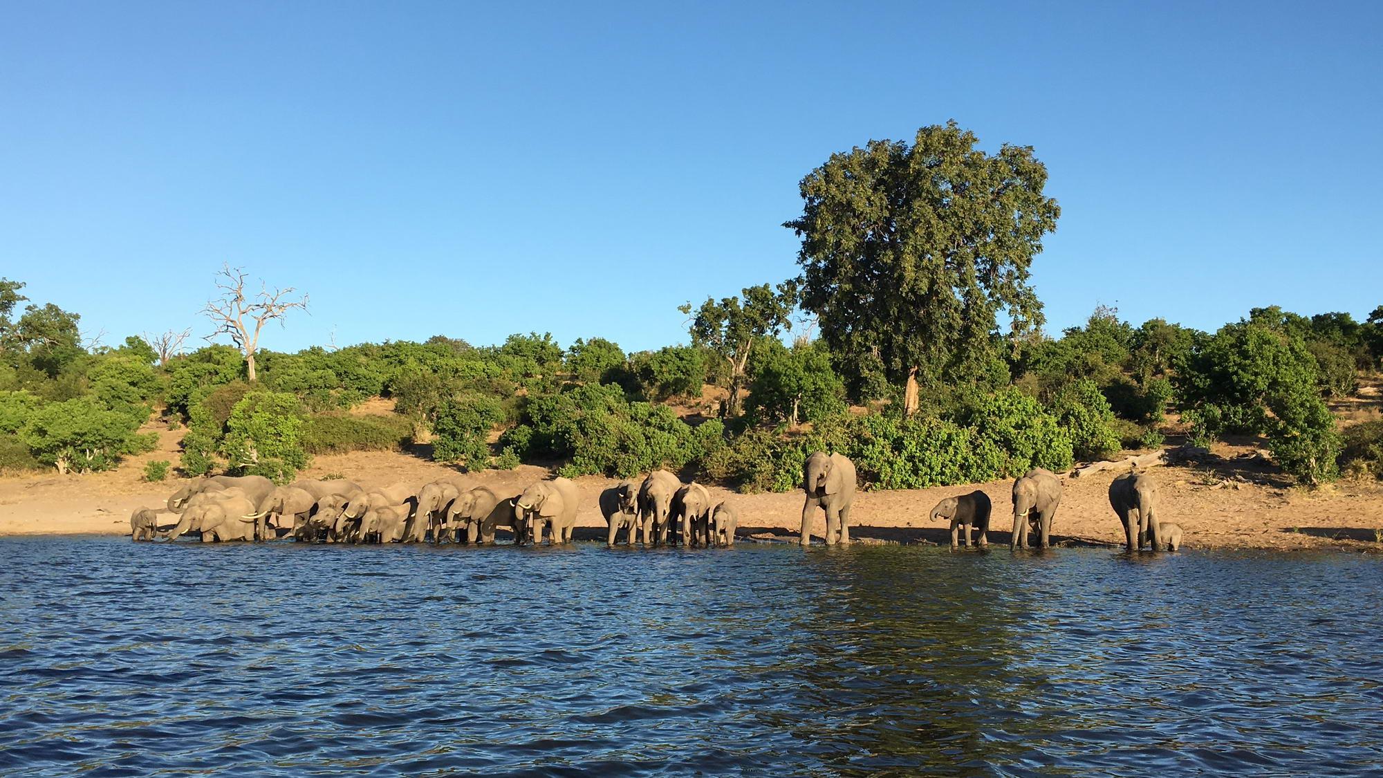 čreda slonov na večerji