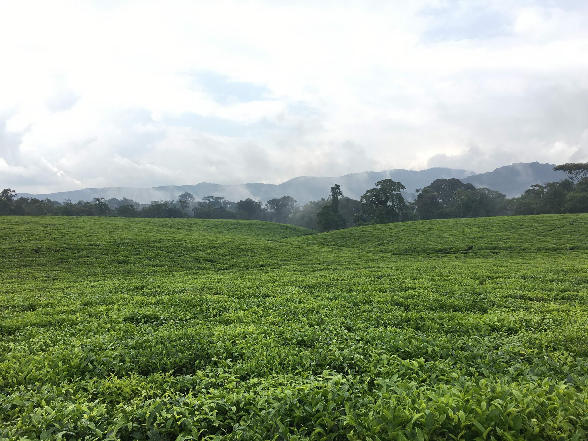 čajne plantaže brez meja
