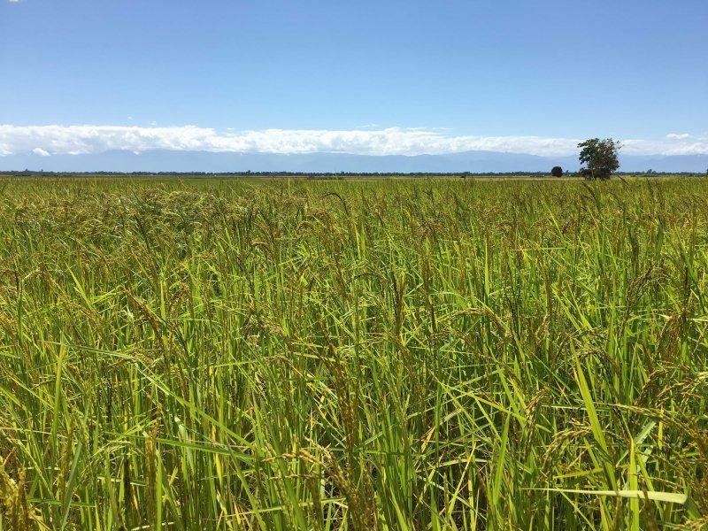 riževa polja v Malaviju