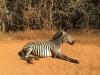 zambijska zebra pozira