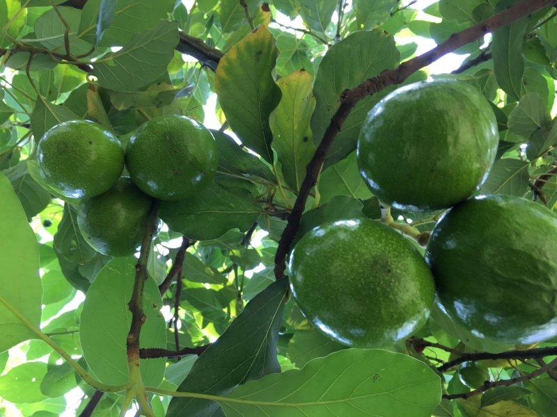 avokado v izobilju