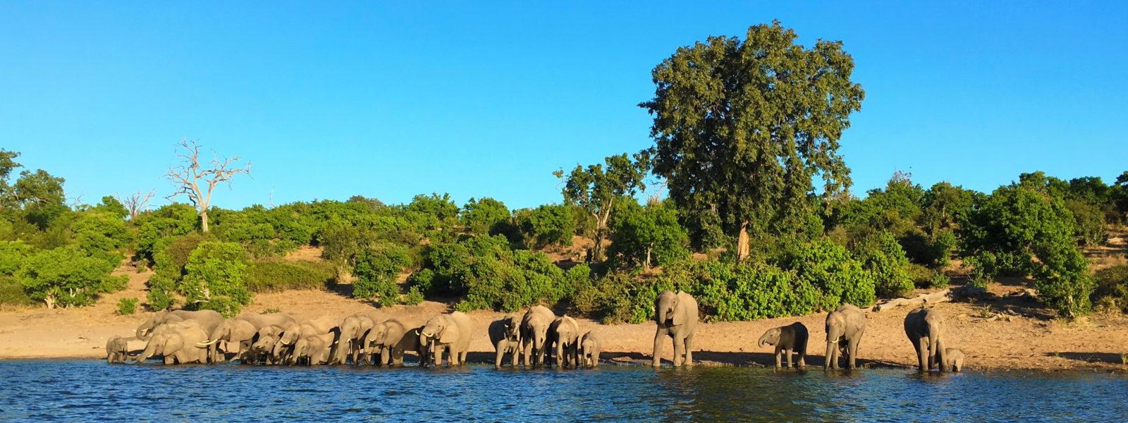 Divje zveri v bocvanski divjini